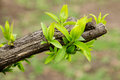 Free Earliest Spring Green Leaves On Old Branches Royalty Free Stock Photography - 29958807