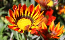 Free Gazania Bright Unique Flower. Stock Image - 29952611
