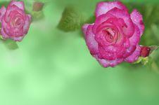 Free Rose Stock Photo - 29954710