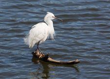 Free Snowy Egret Royalty Free Stock Photos - 29956138