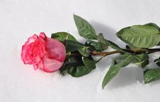 Free Rose In Snow Royalty Free Stock Images - 29957009