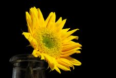 Free Bright Sunflower In An Old Bottle On A Black Background Royalty Free Stock Photography - 29959727
