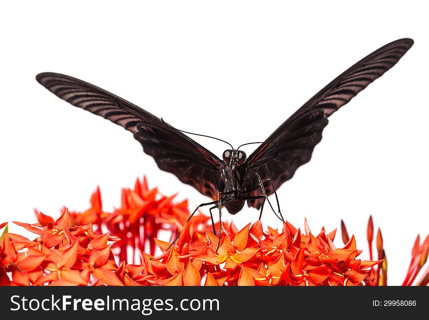 Great Mormon &x28;Papilio memnon agenor&x29; butterfly