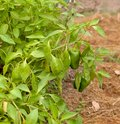Free Freshness Organic Green Peppers And Basil Herb Stock Photos - 29960003
