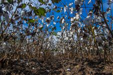 Unusual Perspective Of A Row Of Cotton Growing In A Cotton Field. Stock Images