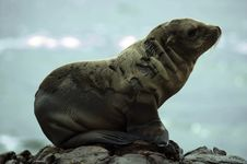 Free Sea Lion At Black Lava Field Royalty Free Stock Photography - 29963707
