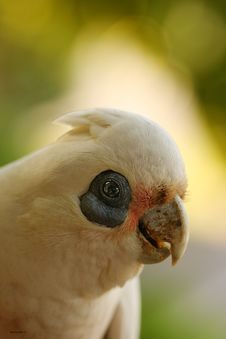 Free Little Corella Royalty Free Stock Photography - 29963717