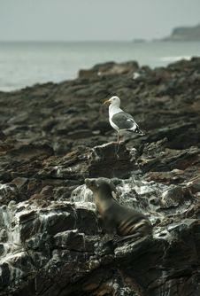 Sea Lion And Seagull Resting At Black Lava Field Stock Photo