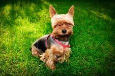 Free Yorkshire Terrier Royalty Free Stock Photos - 29966508