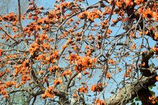 Free Chhola Tree In Full Bloom Stock Images - 29967104