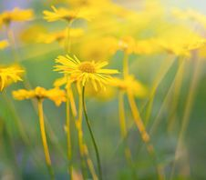 Free Close-up Of Yellow Daisies Stock Images - 29968284