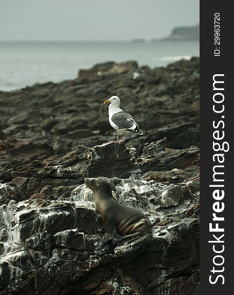 Sea Lion and Seagull resting at black lava field