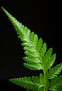 Free Fern Leaf Royalty Free Stock Images - 29973539