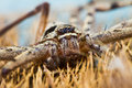 Free Giant House Spider Stock Photography - 29975012