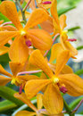 Free Yellow Orchid Stock Photo - 29975120