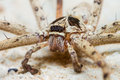 Free Giant House Spider Royalty Free Stock Image - 29975176