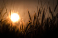 Free Sunrise On  Flower Grass Royalty Free Stock Photos - 29978188