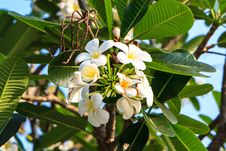 Free White Frangipani Stock Photography - 29972522