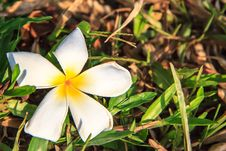 Free White Frangipani Stock Images - 29972744