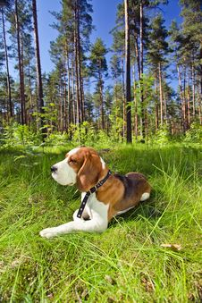 Free Beagle On A Grass In Forest Royalty Free Stock Image - 29973146