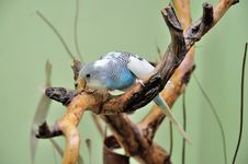Free Budgie Stock Photography - 29975262