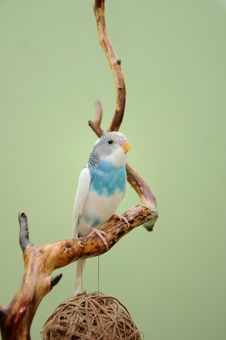 Free Budgie Royalty Free Stock Images - 29975279