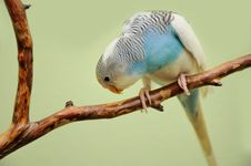 Free Budgie Royalty Free Stock Photo - 29975295