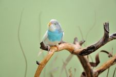 Free Budgie Stock Photo - 29975310