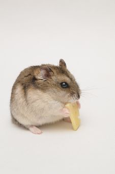 Free Hamster Cheese Royalty Free Stock Images - 29976519