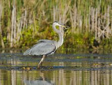 Free Heron Catches A Fish Royalty Free Stock Image - 29978986