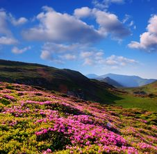 Blooming Rhododendron In The Mountains Stock Photo