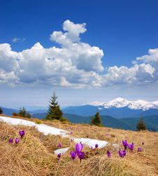 Free First Flowers Of Spring In The Mountains Royalty Free Stock Photography - 29980607