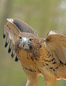 Free Red Tailed Hawk With Wings Spread. Royalty Free Stock Photos - 29981498