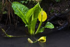 Western Skunk Cabbage Royalty Free Stock Photo