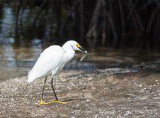 Free Snowy Egret Stock Image - 29983631