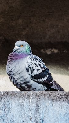 Free The Pigeon Stock Photo - 29988190