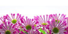 Free Chrysanthemum Royalty Free Stock Images - 29989709