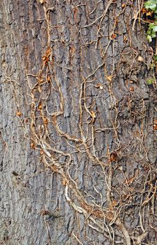 Free Mature Tree Bark And Ivy Climber Stock Photos - 29994113