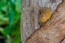 Free The Highly Adorable  And Very Tiny Pygmy Marmoset &x28;Monkey&x29; Royalty Free Stock Photography - 29996697
