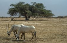 Free Antelope Addax In Israeli Nature Reserve Royalty Free Stock Photo - 29997625