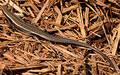 Free Lizard 2 Stock Photo - 33070