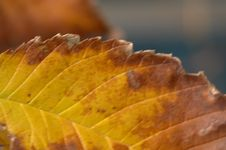 Free Autumn Leaf Decaying Royalty Free Stock Photography - 30737