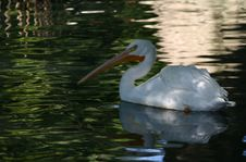 Free Pelican On The Water Royalty Free Stock Images - 31159