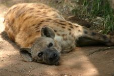 Free Resting Hyena Royalty Free Stock Photo - 32465