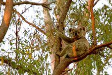 Free Sunset Strip Koala Stock Image - 34291