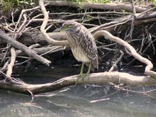 Free Rufous Night Heron (immature) Royalty Free Stock Images - 35079