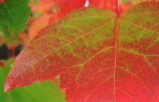 Free Green-now Red, Autumn Leaf Royalty Free Stock Photo - 35125