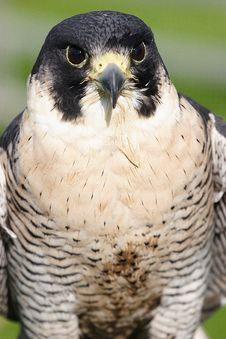 Free Bird Of Prey Royalty Free Stock Photos - 35268