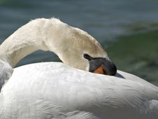 Free Resting Swan Royalty Free Stock Photos - 36958