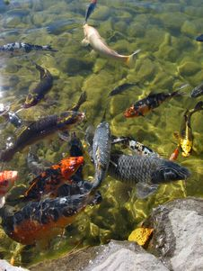 Free Hungry Coy Fish Stock Images - 37984